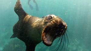 seal close up underwater