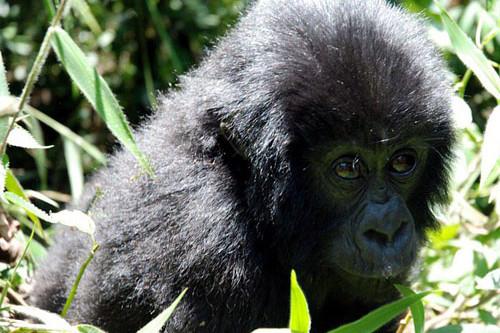 24 Days Gorillas Game Drives and Zanzibar