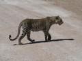 Leopard in Etosha