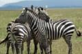 Zebras standing guard