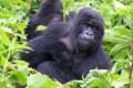 Slverback Gorilla