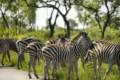 Zebras at Kruger National Park
