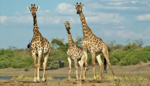 Giraffes a Chobe