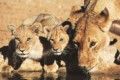 Lioness drinking with cubs