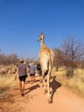 Giraffe in Namibia