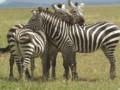 Zebras watching eachothers backs