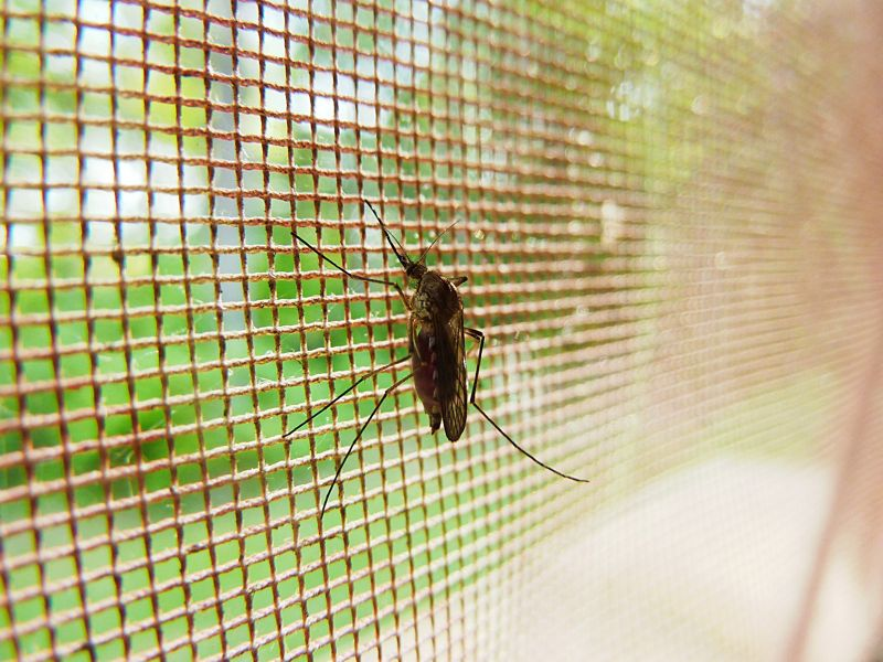 A mosquito trapped behind a net