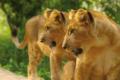 Lions