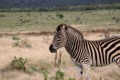 Zebra in Addo
