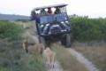 Lion Spotting during safari