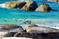 Penguins swimming in Boulders Beach
