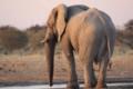 Elephant walking around in Etosha