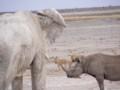 An Elephant nd Rhino in Etosha