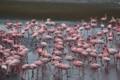 Group of Flamingoes at Walvisbay Lagoon