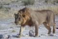 Etosha Male Lion