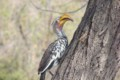 A Yellow Hornbill on tree