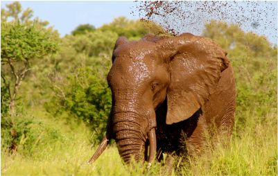 elephant in mud
