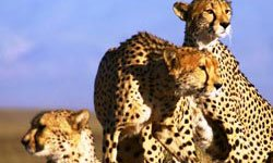 Family of Cheetas