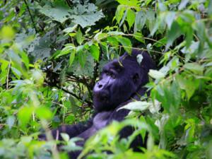 14 Days of Gorillas and Masai Mara Tour