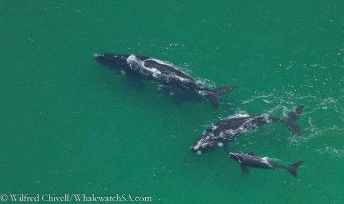 group of whales