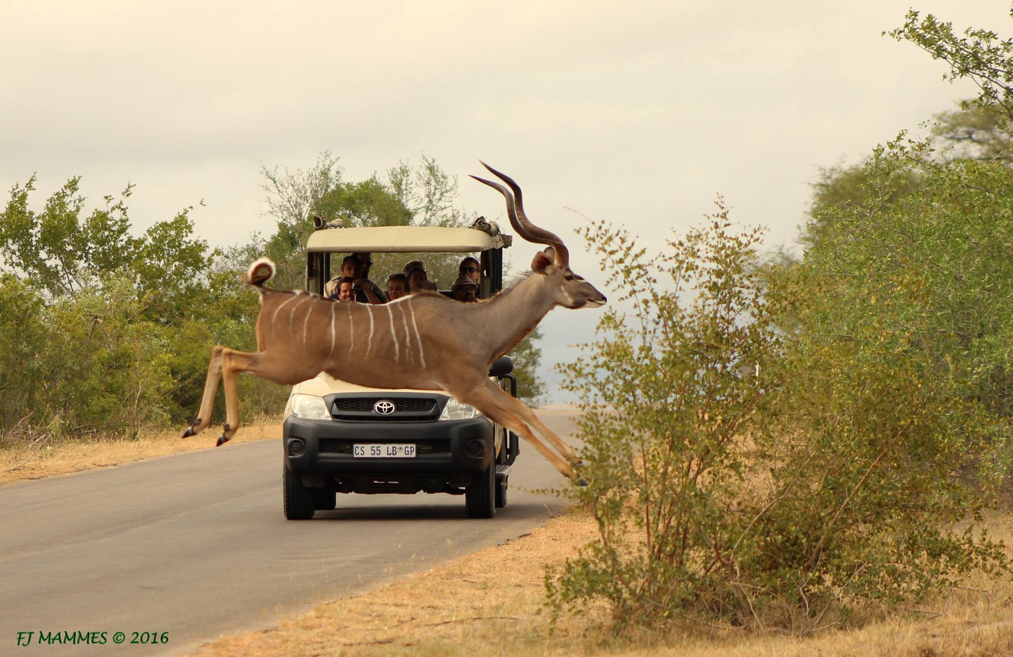 Kudo during game drive