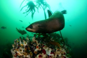 seal scuba diving cape town