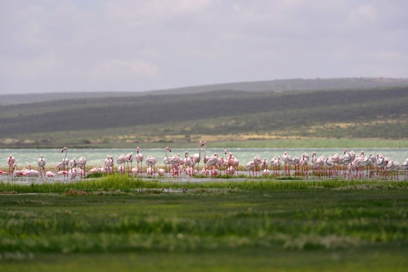 Flamingos at Nakuru lake National Park