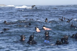 people snorkling with seals