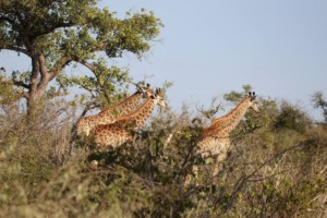 Giraffe at Kuger National park