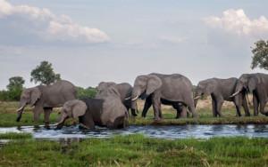 Elephants at Okavango Delta