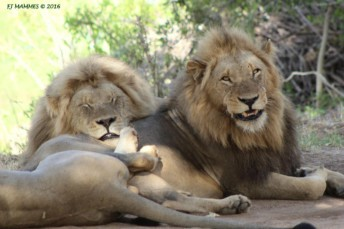 lions at Kruger National park