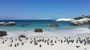 Boulder Beach Pinguins