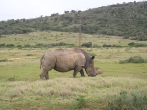Rhino at Kruger National Park