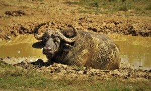 Buffalo in Addo