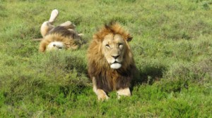 Lions in Addo