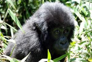14 days gorilla and safari