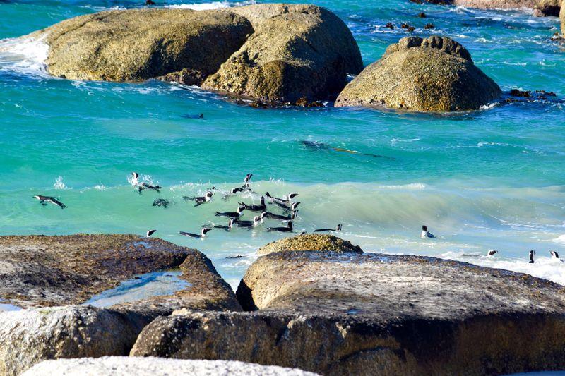 Penguins swimming in Boulders Beach