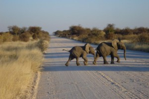 Baby Elephants crossing the road