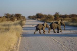 Baby Elephants crossing the road