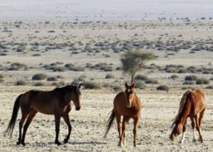 Namib Wild Horses in Aus