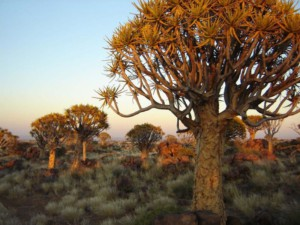 Sunset at the Quivertree Forest