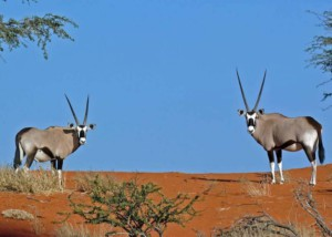 Two Oryx in The Kalahari Desert on the lookout
