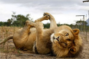 lion lying on its back