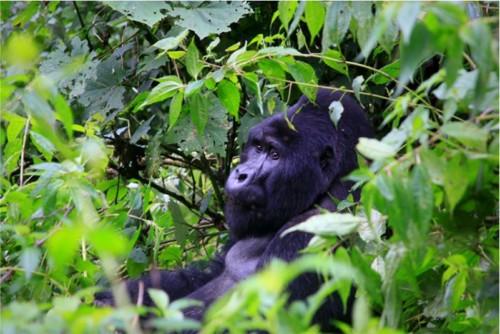 Gorilla in forest Uganda