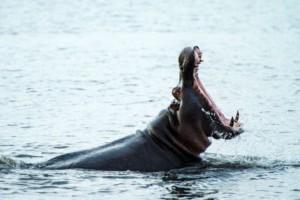 hippo chobe