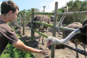 boy feeding an ostrich