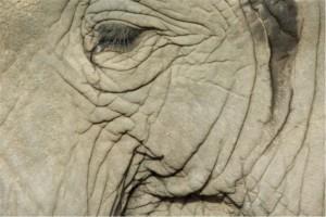 elephant Kruger