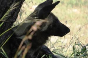 Hyena Kruger