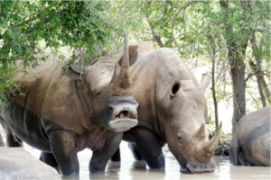 rhino swaziland