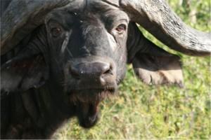 buffalo swaziland